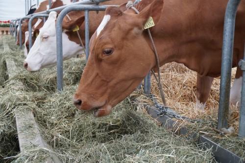 cow-3342848_1920